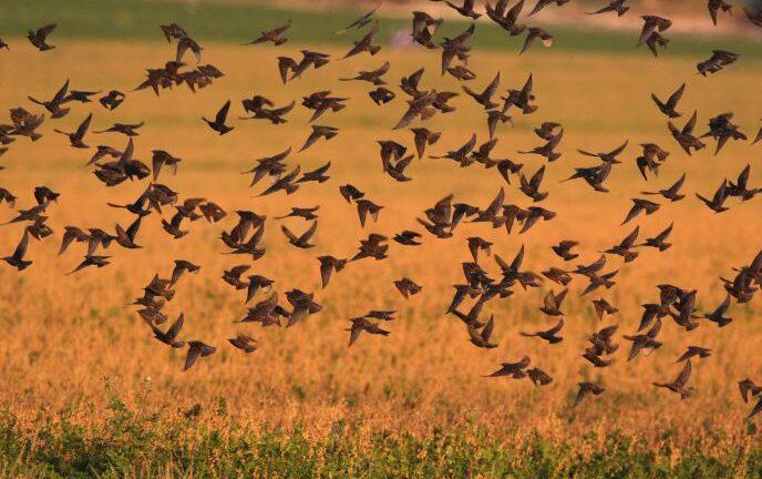 Photo of starlings in Israel by Haim Shohat/FLASH90