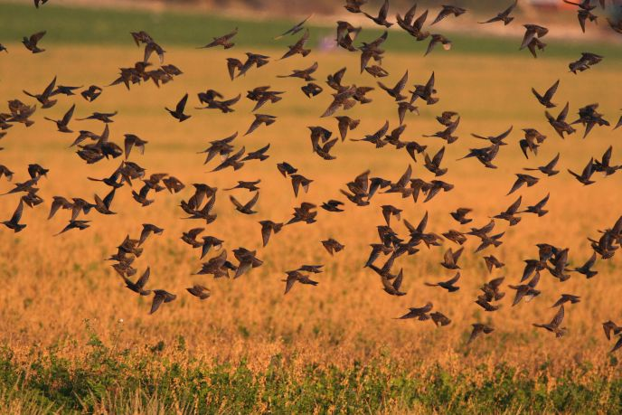 Photo of starlings in Israel by Haim Shohat/FLASH90