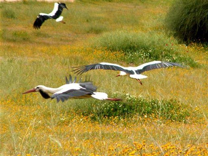 Migrating storks. (Israel Tourism Ministry)