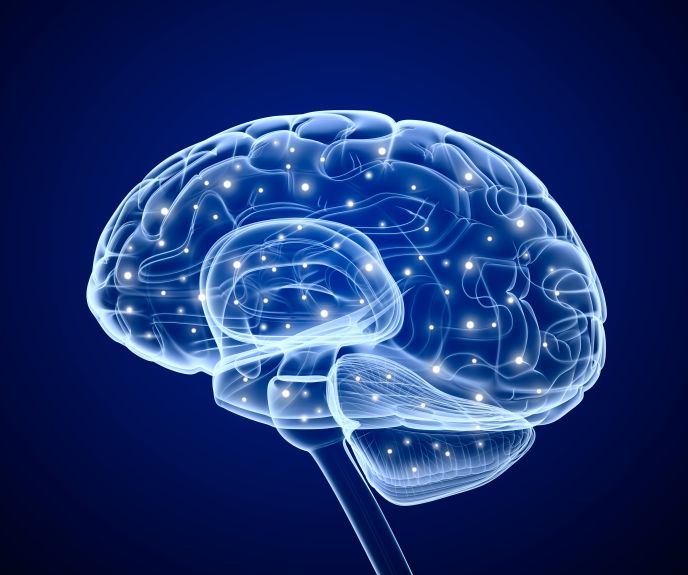 An illustration of the brain by www.shutterstock.com