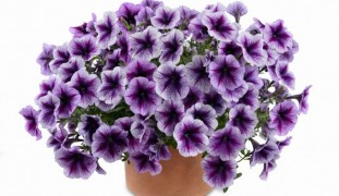 Danziger Purple Vein Ray petunias.