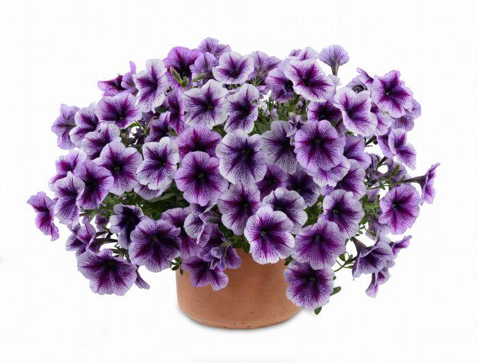Danziger Purple Vein Ray petunias.