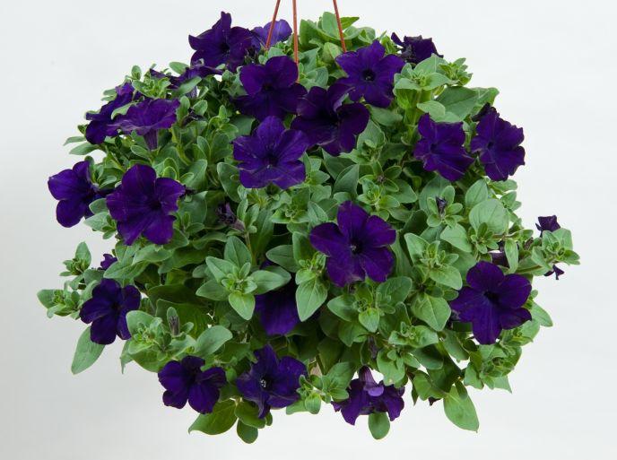 Danziger Blue Ray petunias.