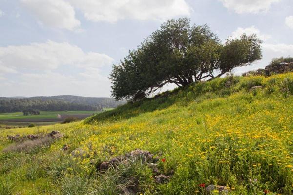 Beautiful-Israel-in-Green_Carob-Tree
