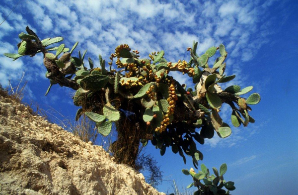 Beautiful-Israel-in-Green_Prickly-Pear