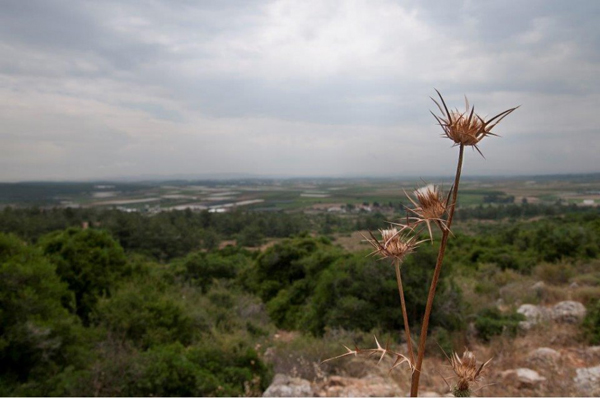Beautiful-Israel-in-Green_Syrian-Thistle
