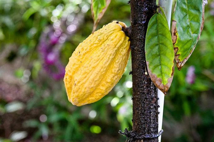 Cacao beans grow on six trees at Sarina Chocolate.