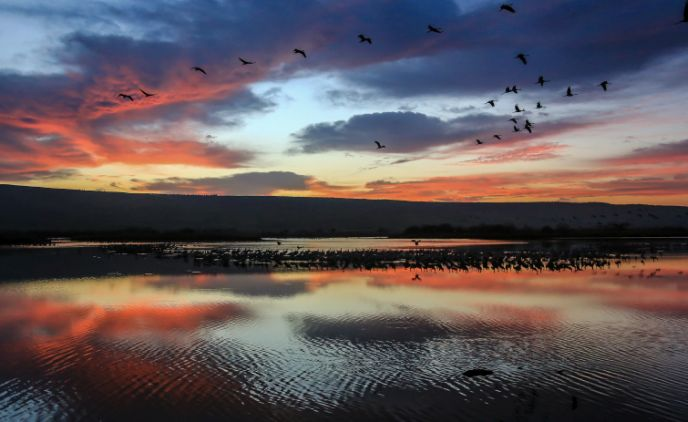 Thousands of migrating cranes at sunriseover Hula. Photo by Edi Israel/FLASH90
