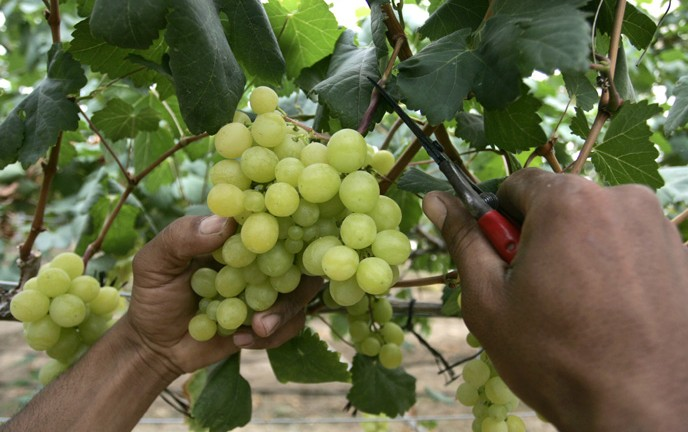 Grapes all year round. (Abed Rahim Khatib / Flash 90)