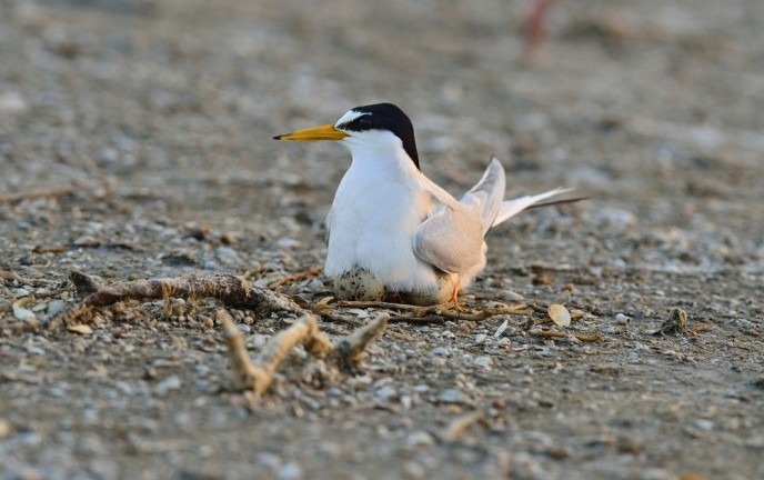 Little terns tracked from Israel to Mozambique. (Shutterstock)