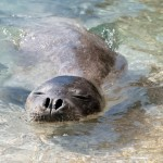 Mediterranean monk seal sighted off the coast of Rosh HaNikra. (Shutterstock.com)