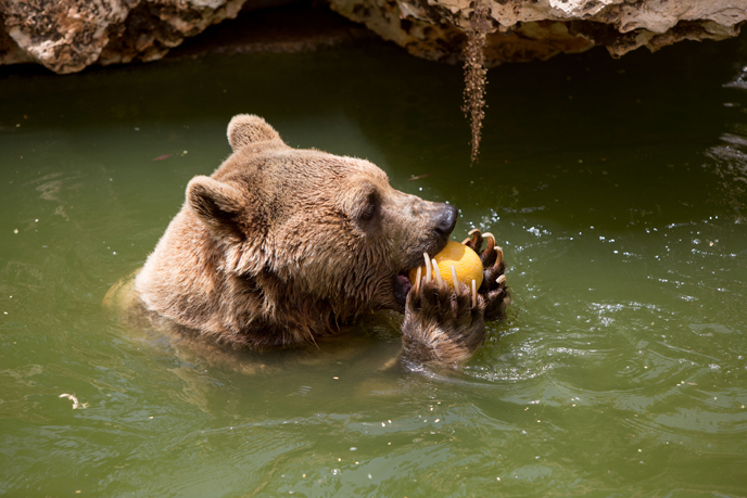 A brown Syrian bear enjoys a frozen melon and a swim at the Jerusalem Biblical Zoo. (Photo by Yonatan Sindel/Flash90)