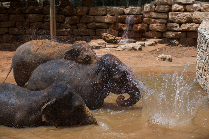 Elephants enjoy a swim at Jerusalem's Biblical Zoo on an extremely hot summer day, on May 27, 2015. (Photo by Yonatan Sindel/Flash90)