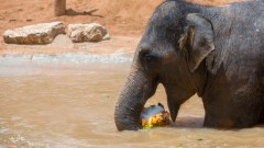 An elephant enjoys a fruit snack and swim at the Jerusalem Biblical Zoo. (Photo by Yonatan Sindel/Flash90)