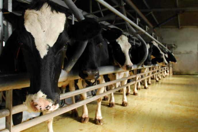 Dairy cows on a family farm in Beerotaim. Photo by Gili Yaari/FLASH90