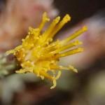 natural diabetes remedy, medicinal plants in Israel, sharp varthemia