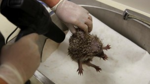 A hedgehog gets blow dried during a medical examination by vets at the Israeli Wildlife Hospital in Ramat Gan. Photo by Flash90.