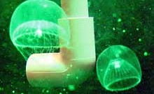 A guest from Japan: Glowing green jellyfish arrives in Israel. (Photo: http://www.rimi.or.jp/engdobutu/FCNIDARIA.html)
