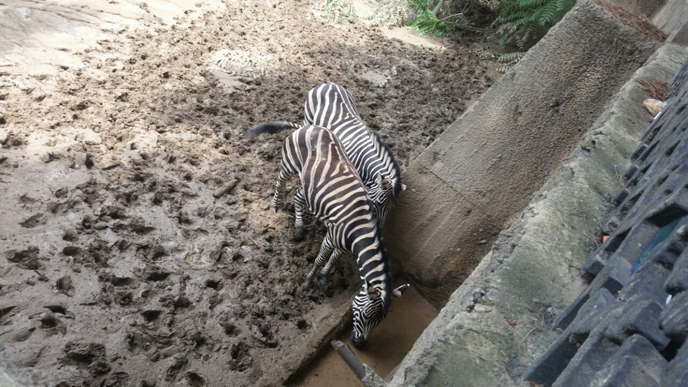 Saving the zebras in Tbilisi. (Photo: Dr. Nili Avni-Magen)