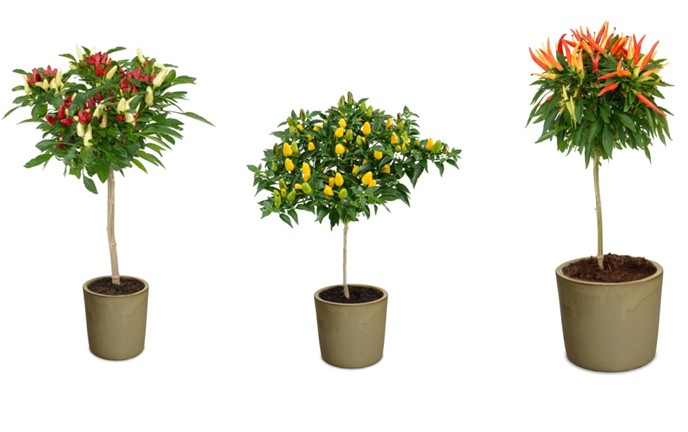 Hishtil nurseries introduces Funtastick, Conic and Medusa bell pepper trees for your garden. (courtesy photo)