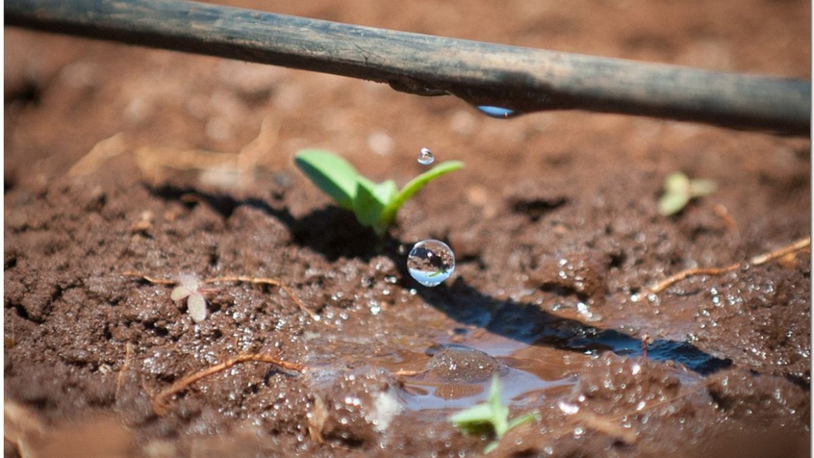 Drip irrigation is a common sight in Israeli fields. Photo by Moshik Brin for Netafim
