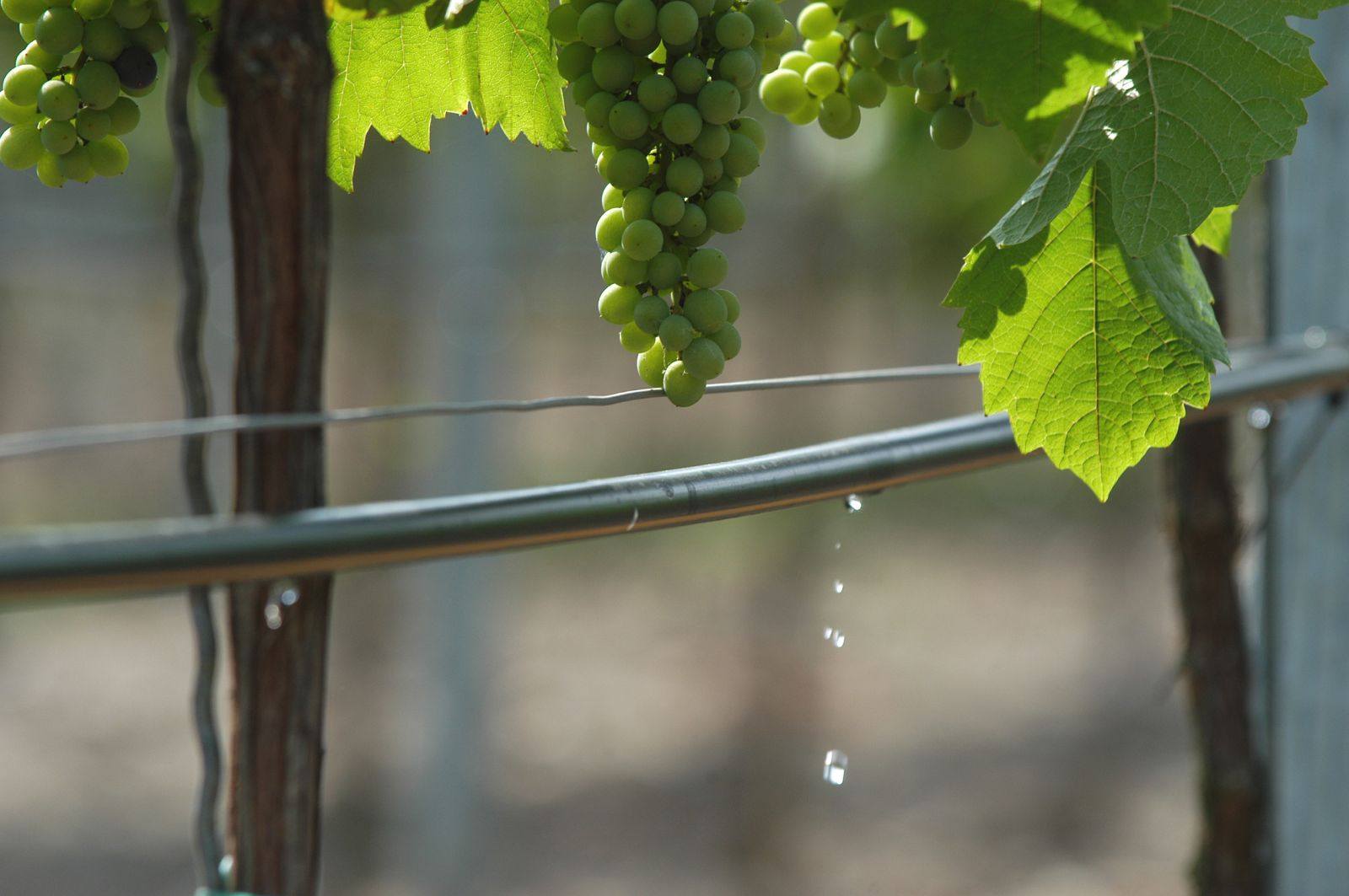 "Grape farmer Jim Stollberg installed drip ""because it's really the leading way to irrigate in wine grapes in California."" Photo courtesy of Netafim"