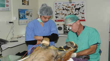 Koret School of Veterinary Medicine student Adi Hershkovits, left, observing Dr. Yoav Bar-Am capping Dano's exposed root canal. Photo by US Army Capt. Jennifer Dyrcz, Task Force Sinai Public Affairs