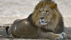 Samuni the Lion (Photo: Tibor Jager/ Zoological Center of Tel Aviv-Ramat Gan)
