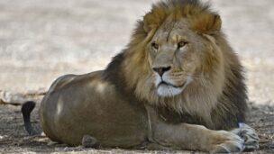 Samuni the Lion (Photo: Tibor Jager/ Zoological Center of Tel Aviv-Ramat Gan)