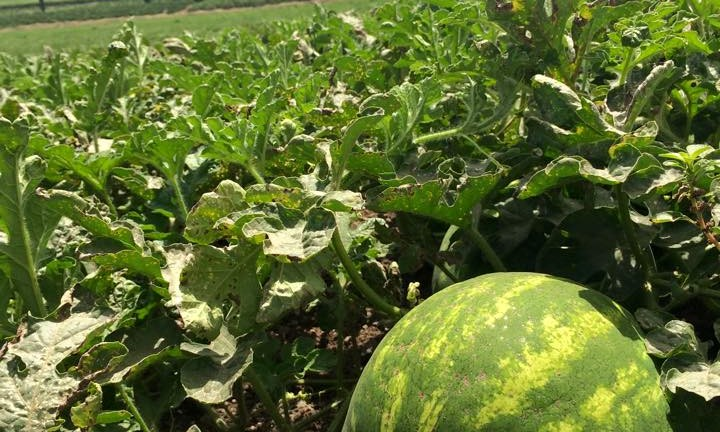 Watermelon patch at Kibbutz Shluchot.
