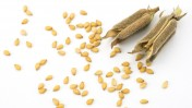 Zvi Peleg's innovation means more seeds per pod. Image via Shutterstock.com