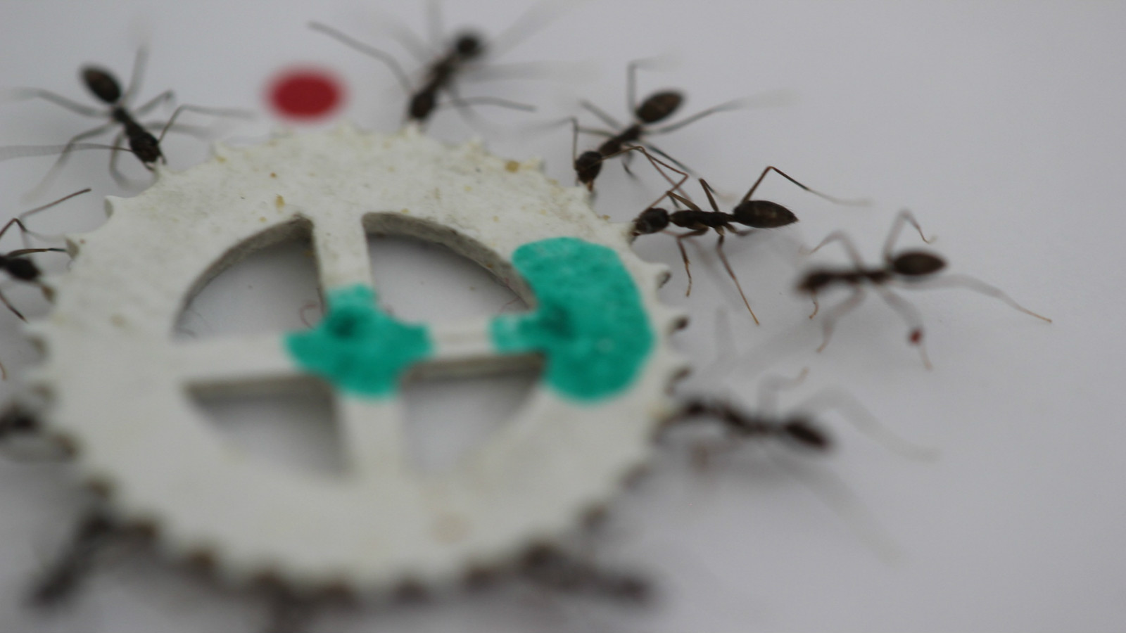 Ants in a group switch off every 10 to 20 seconds as they maneuver food to the nest. Photo courtesy of Weizmann Institute