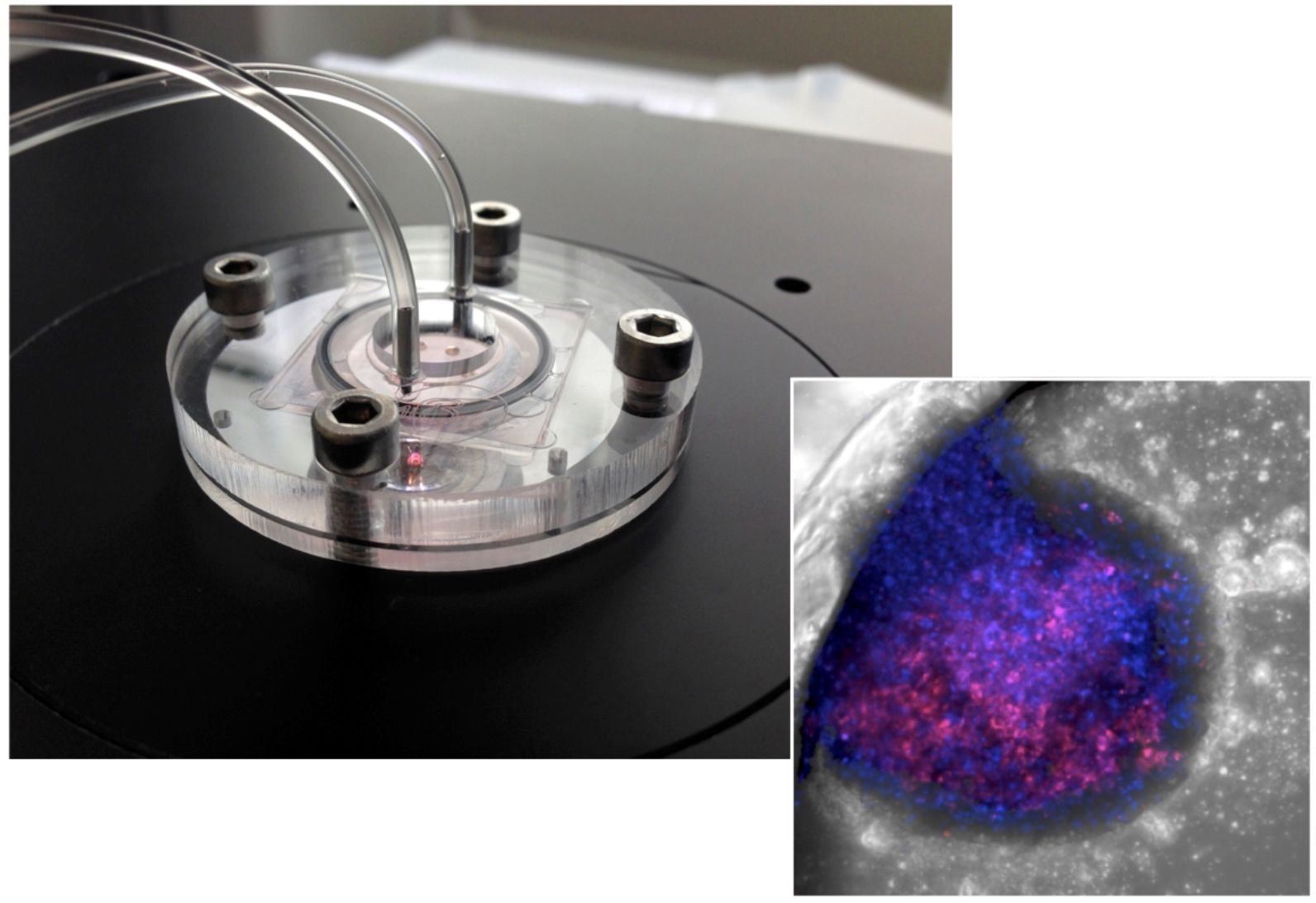 The liver-on-chip, left, and a microscopic look at it inside. Photo by Yaakov Nahmias/Hebrew University