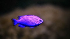 Sapphire devil fish. Photo by Shutterstock.com