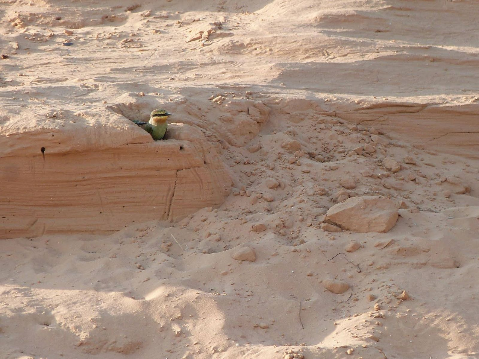 Nehama Baruch took this photo of a blue-cheeked bee-eater in the western Negev.