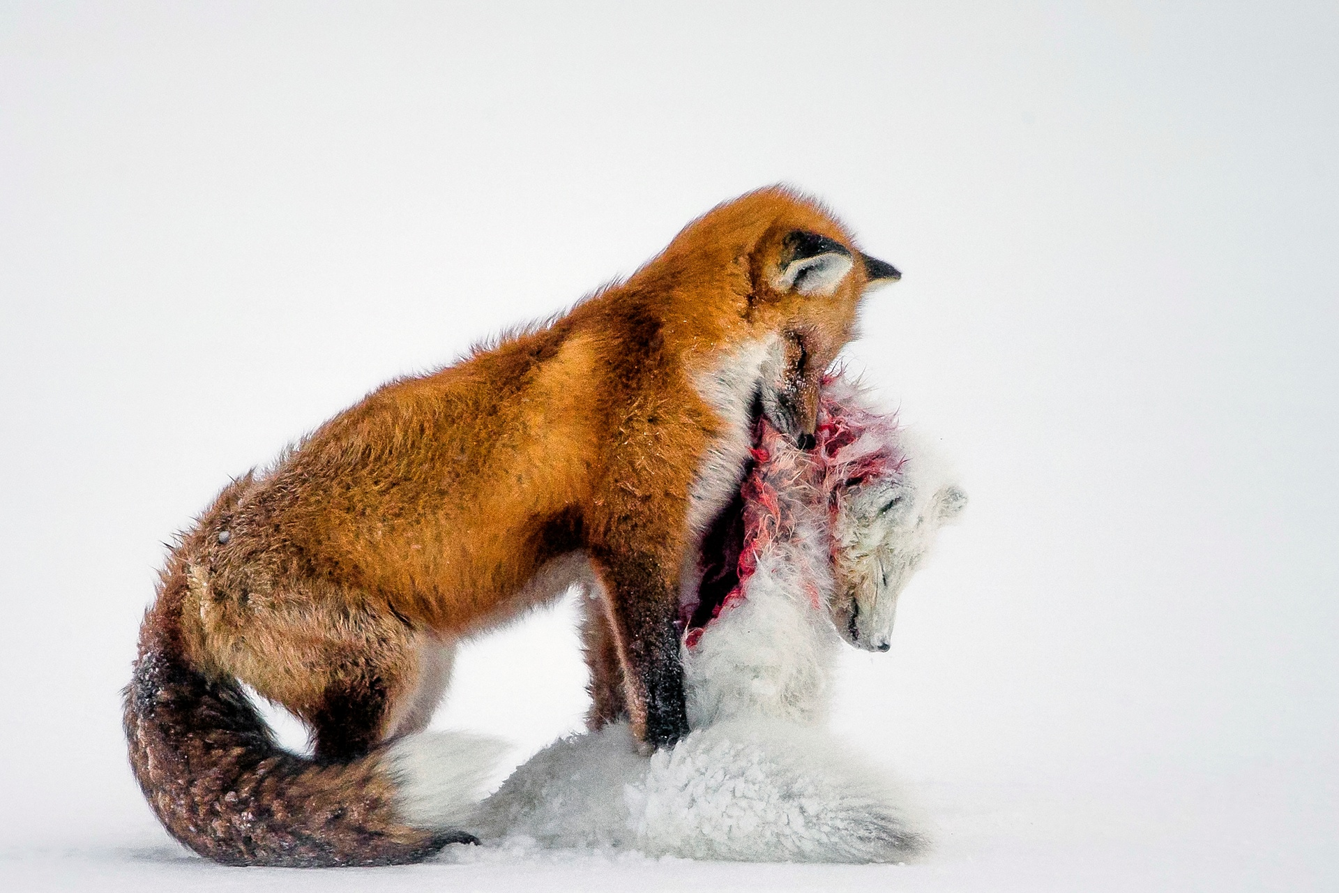 Wildlife photographer of the year winner and mammals category winner: A tale of two foxes by Don Gutoski (Canada).