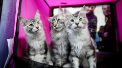 FLASH90's Dima Vazinovich snapped this catty photo at a previous international cat exhibition, held in Rishon Lezion.