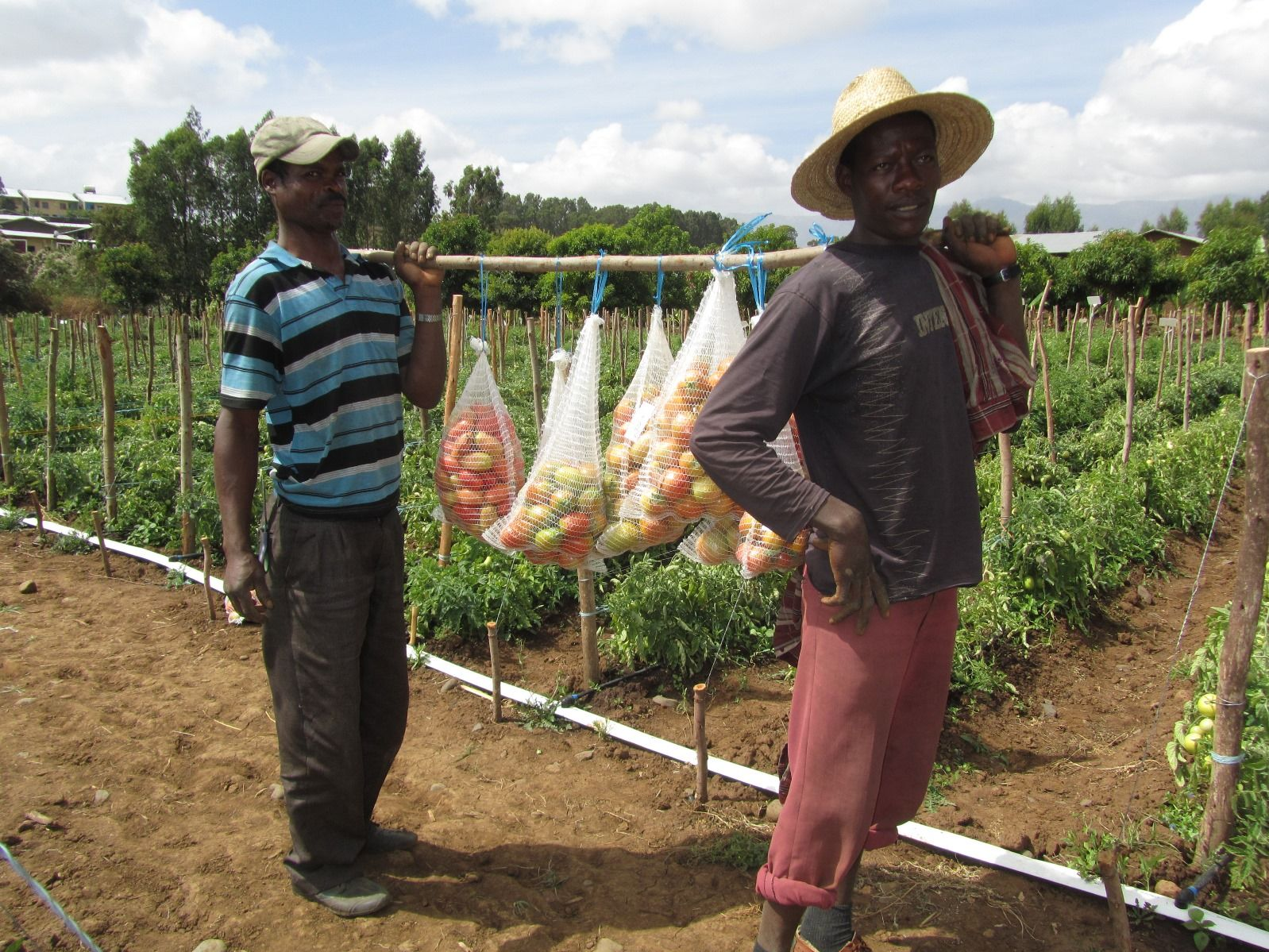 Fair Planet's seed program helped these Ethiopian farmers grow better tomatoes. Photo: courtesy