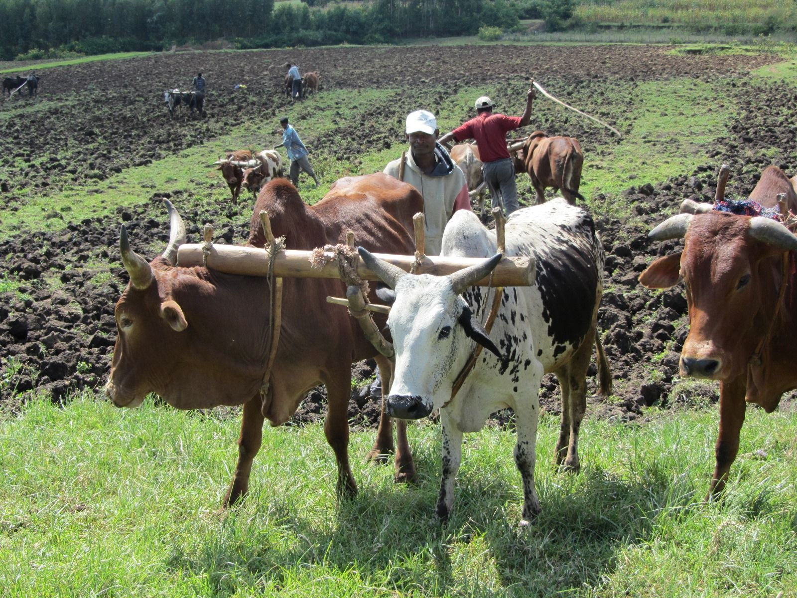 Ethiopian subsistence farmers use animals to work the fields. Photo: courtesy
