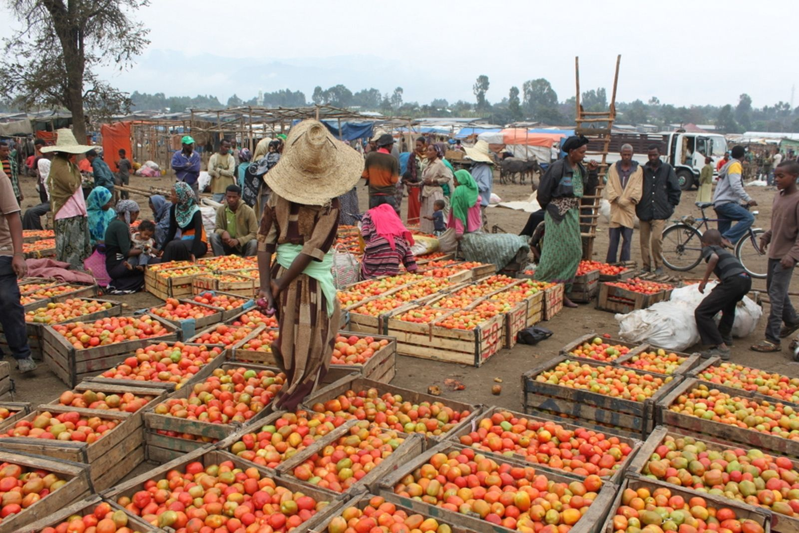 Tomatoes grown from high-quality seed fetch a higher price at market. Photo: courtesy