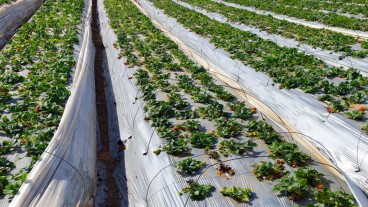 Growing strawberries in the Israeli desert. Photo via www.shutterstock.com