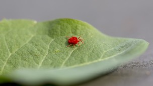 Red spider mites harm crops by sucking nutrients from their leaves. BioBee's BioPersimilis is a natural predator of the spider mite and is harmless to plants. Image via Shutterstock.com