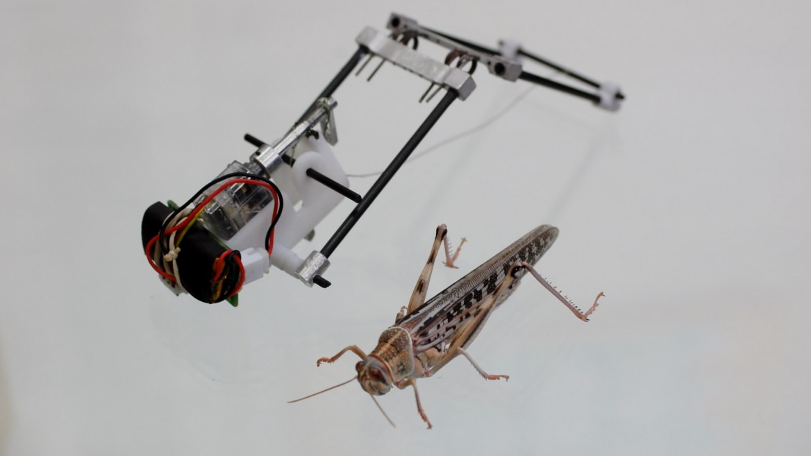 The TAUB robot is modeled after a high-jumping locust. Photo courtesy of American Friends of Tel Aviv University