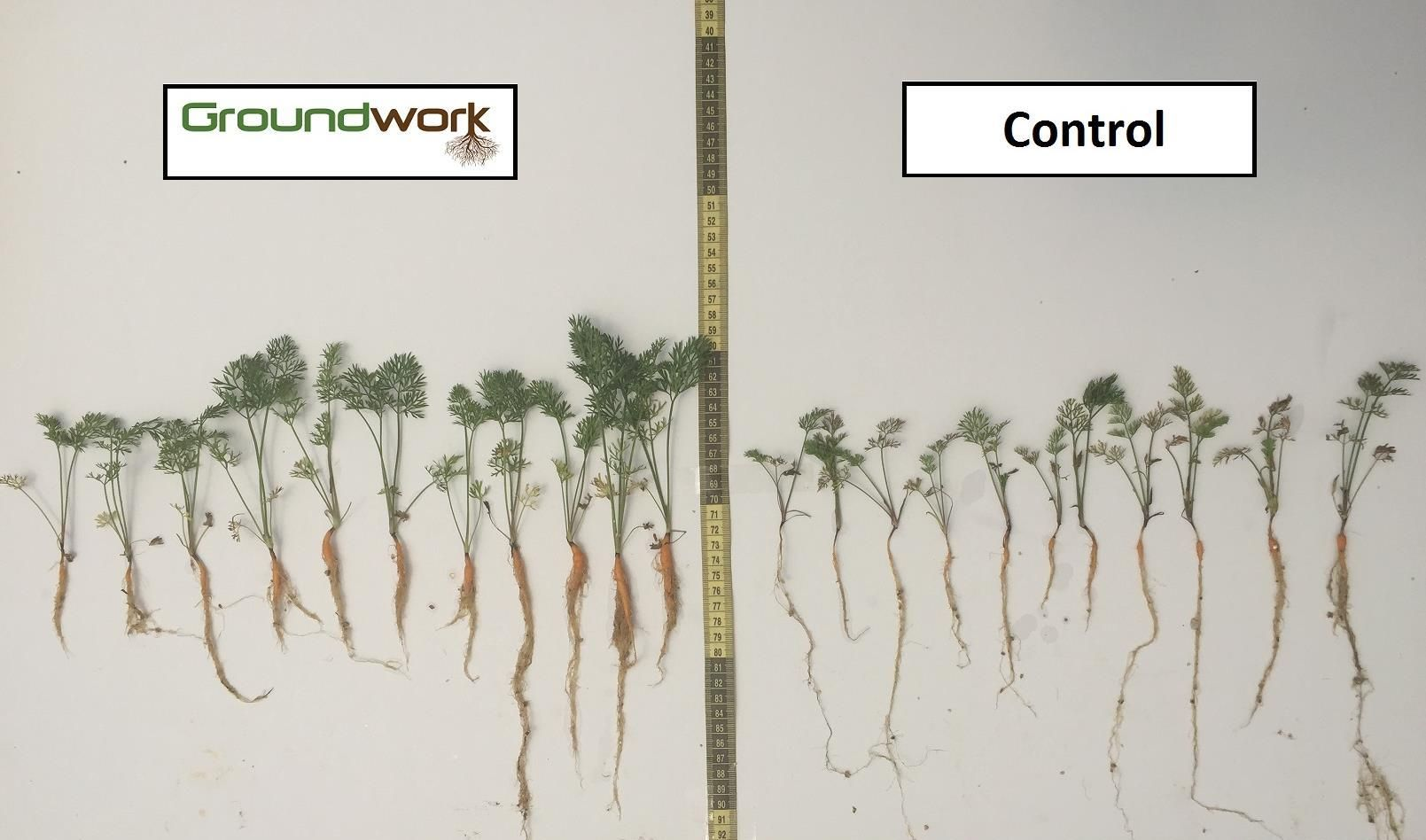 Carrots grown with Rootella, left, and without. Photo courtesy of Groundwork BioAg