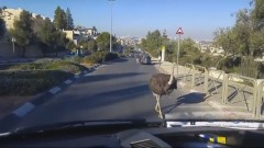 Is that really an ostrich? Screenshot from YouTube video posted December 27 by Israel National News.