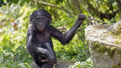 Israeli researcher says Bonobo apes are smarter than we think. Photo by Shutterstock
