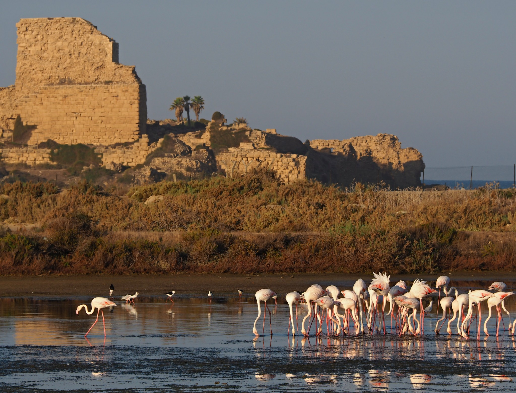 Flamingos in front of the Atlit Fortress. Photo by Ilya Krivorok