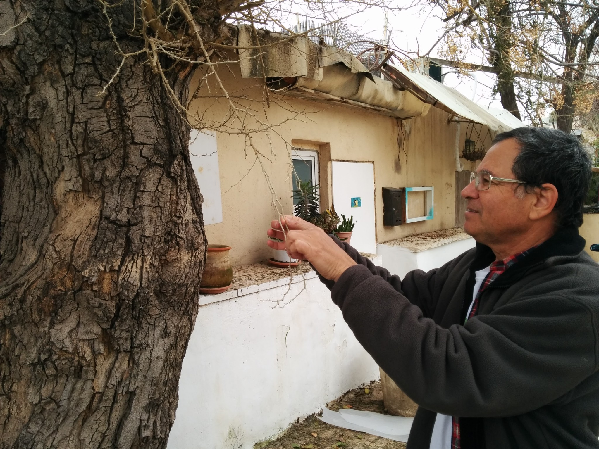 Israeli tree surveyor Yaacov Shkolnik with the acacia albida tree in Neve Tzedek. Photo by Viva Sarah Press