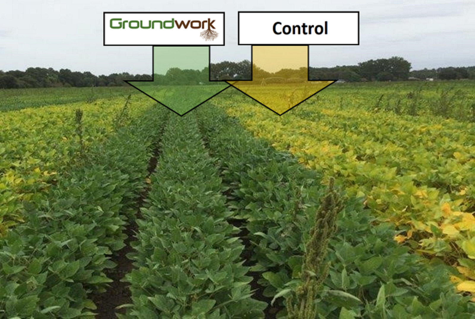 Soy crops treated with Rootella are healthier than control crops. Photo courtesy of Groundwork BioAg