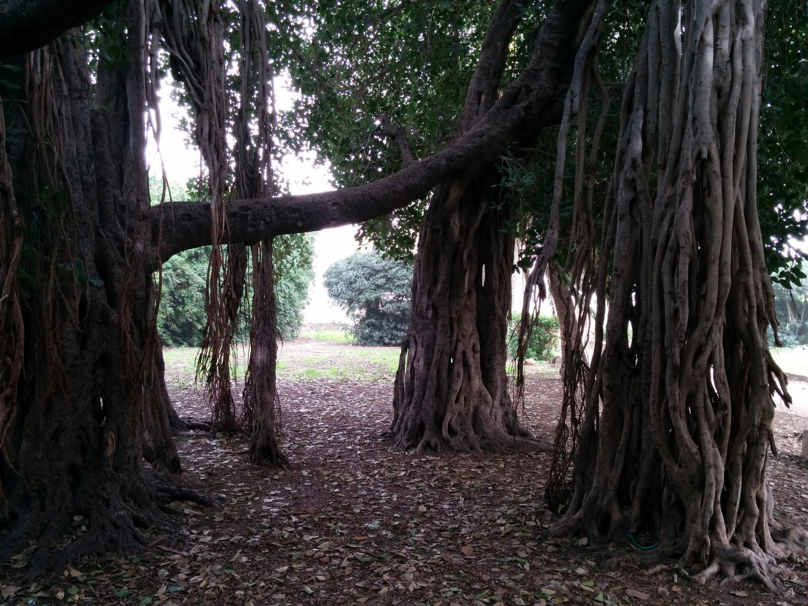 The Bengali ficus tree at Mikveh Israel Agricultural School in Tel Aviv. Photo by Viva Sarah Press